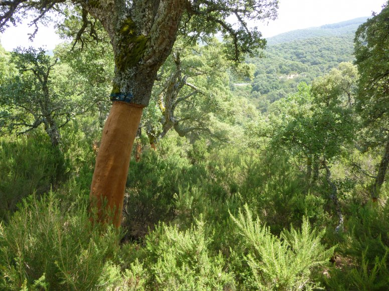 Panoramic view of cork oak woodlands in the Forest of Fiorentini (Sardinia, Italy)