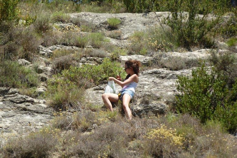 Survey of wild populations of Salvia lavandulifolia in Catalonia