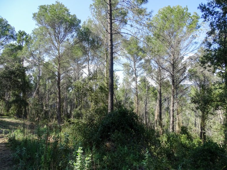 Thinned Aleppo Pine forest