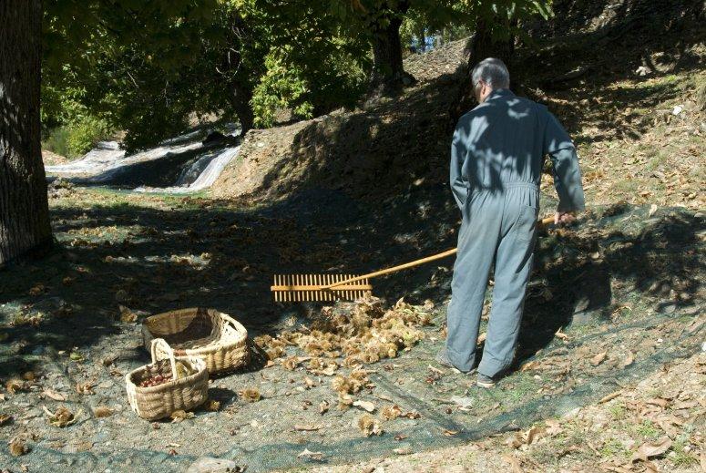 "Chesnuts harvest by a ""Castane"" economic group associate"