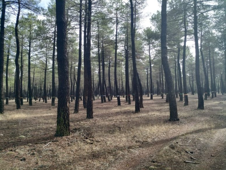 Pine stand oriented to resin production