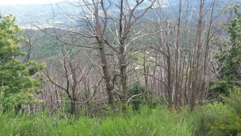 Chestnut forest mortality due to Ink disease