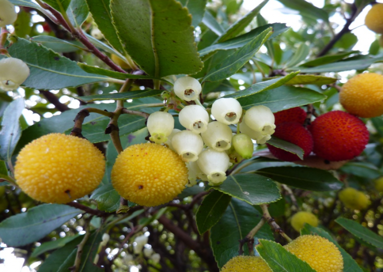 Appearance of Abutus unedo fruits (INRGREF, 2017)
