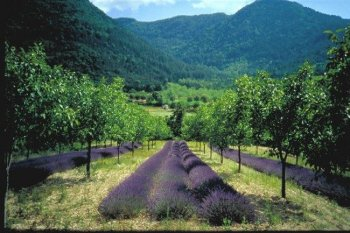 Example of agroforestry concept applied by farmers: trees and medical species cultivation. Author and source: Christian Dupraz
