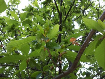 Dryocosmus kuriphilus - chestnut gallwasp