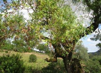 Tree of Fraxinus angustifolia Vahl. subsp. angustifolia from Nefza