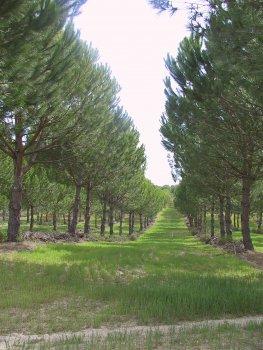 Agroforestry pine & cereals (Alentejo Portugal)
