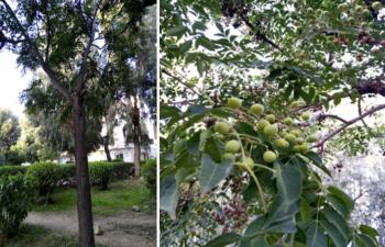 Melia azedarach L. ( tree, leaves & fruits)