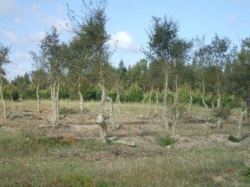 Pruned cork oak trees