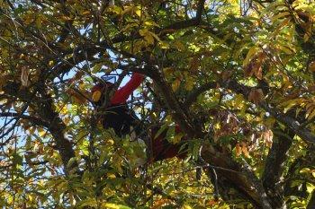 Professional chestnut pruning