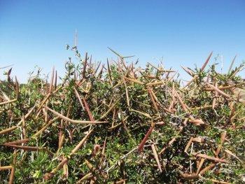 Periploca angustifolia de la region de Sebikha-Kairouan, Tunisie