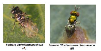 Female Ophelimus maskelli & Female Closterocerus chamaeleon