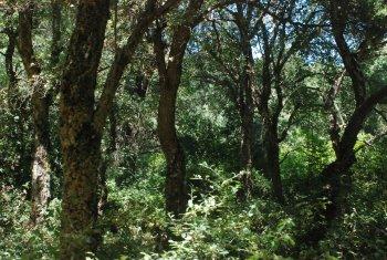 Abandoned cork oak stands