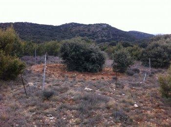 Truffe producing tree