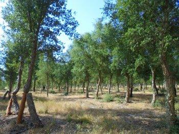 18 years old cork oak stand in Coruche, Portugal.