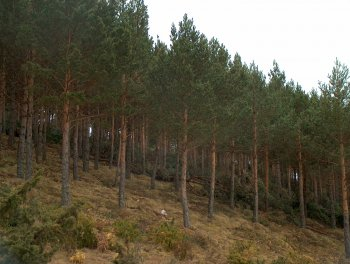 Pinus forests