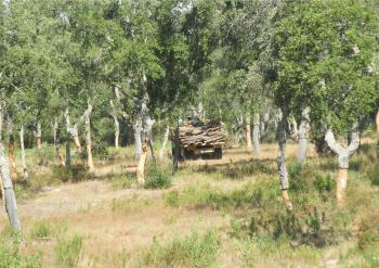 Cork oak woodlands