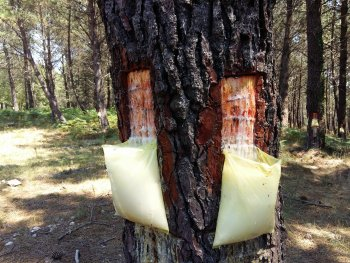 Aspect of the tree trunk incision for resin extraction