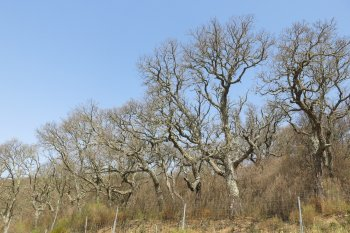 Cork oak decline