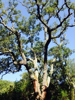 Cork oak showing signs of weakening
