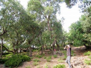 Cork oak plot in the Var department