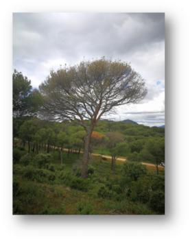 Crown dieback stone pine