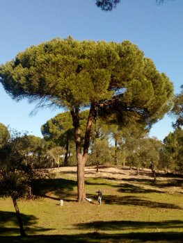 Stone pine tree in Central Portugal