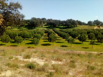 New stone pine plantations in Abegoaria.