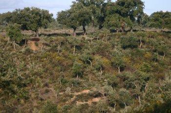 Cork oak forest