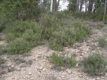 Rosmarinus officinalis (Rosemary) wild population
