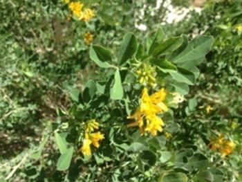 Medicago arborea leafs and flowers