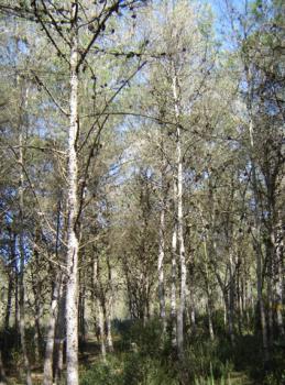 Aleppo pine provenance trial in the comparative plantation of Jbel Abderrahmane - Cap Bon