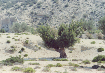 Spontaneous, aged carob tree pruned and grafted at Oueslatia