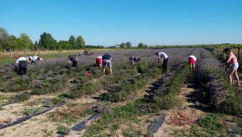 Manual harvesting of lavender