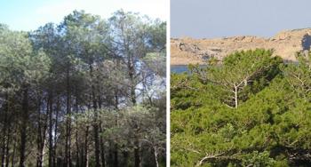 Appearance of Pinus brutia trees (INRGREF, 2017)
