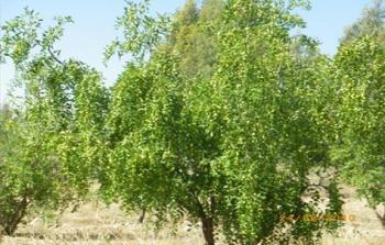 Ziziphus jujuba tree (experimental station-Rouhia)