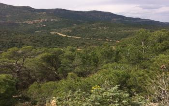 Natural Aleppo Pine forest (Djebel Serej- Siliana)