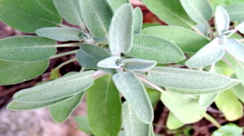 Salvia officinalis leaves