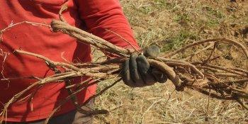 "Organic licorice roots (Glycyrrhiza glabra) harvested with sustainable harvest certification ""FairWild""."
