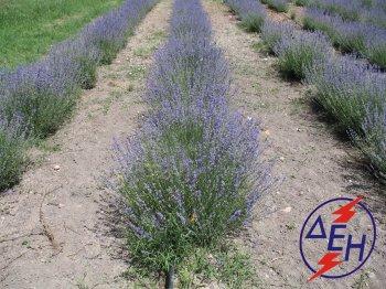 Lavender cultivation