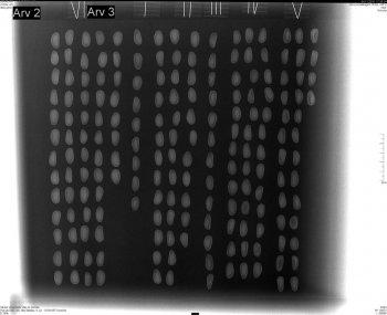 Inshell pine nuts X-rayed (Pinus pinea)