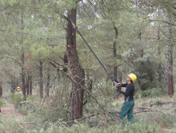 Pruning is a complementary work to the activity of resin extraction.