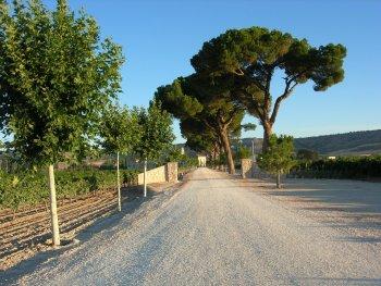Stone pine in Mediterranean landscape