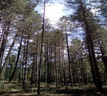 P. nigra trials in Souiniet