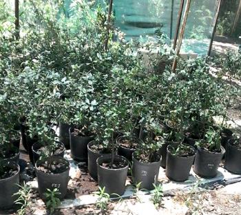 Seedlings of provenances of Cork Oak