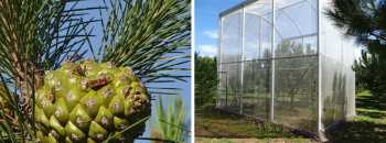 Leptoglossus seed bug instars feeding on a cone (left). Insect-proof cages (right)