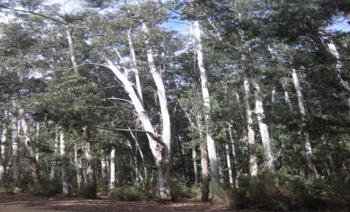 Trials of Eucalyptus species