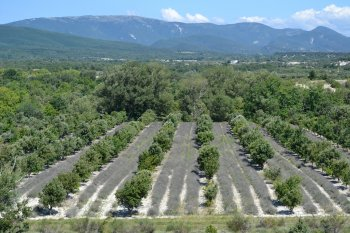 A truffle orchard in southern France