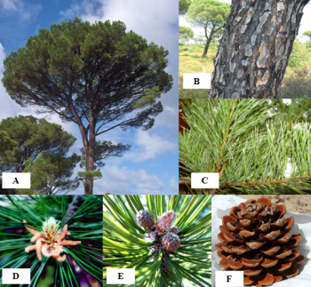 A: Appearance of the tree, B: Aspect of the trunk, C: Appearance of the leaves, D: male inflorescences, E: female inflorescences, F: cone (Arboretum Ain Drahem, 2015)